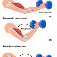 Isometric, Concentric and Eccentric muscle contractions: What's the difference?
